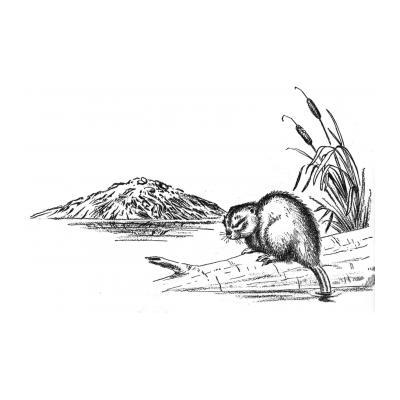 Животное бобер