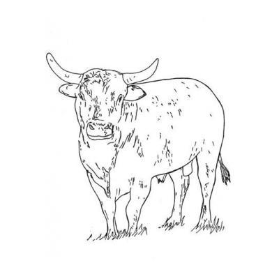 Красивый бык