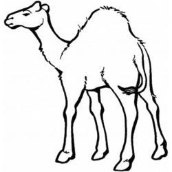 Верблюд с двумя горбами