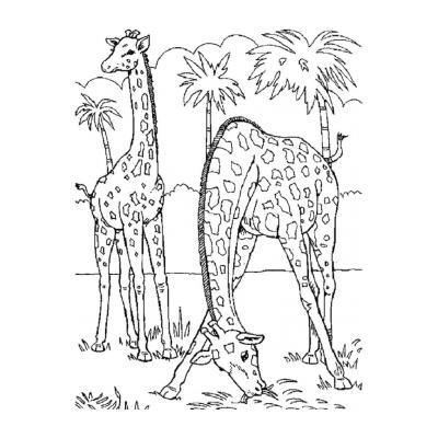 Жираф живет в Африке